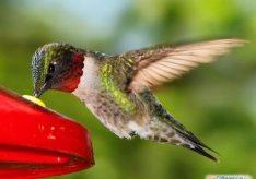 Самая маленькая птица в мире