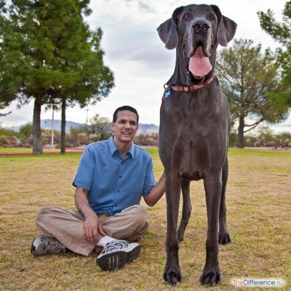 какая собака самая большая в мире