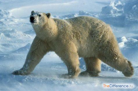 самый большой медведь в мире