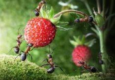 Как избавиться от садовых муравьев?