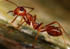 Как избавиться от рыжих муравьев?