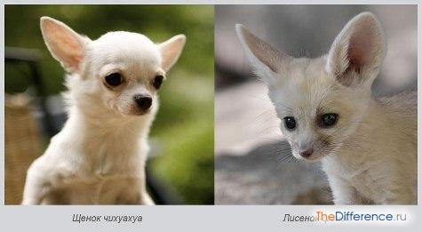 самая маленькая собака в мире фото