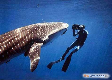 самая большая акула в мире