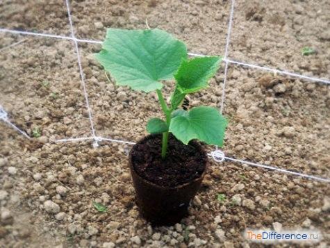 как выращивать огурцы в теплице