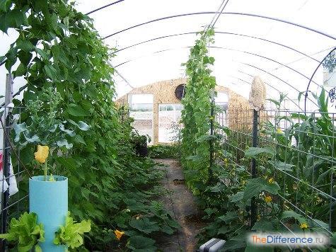 выращивать огурцы в теплице