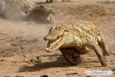 Крокодил внезапно может показать прыть