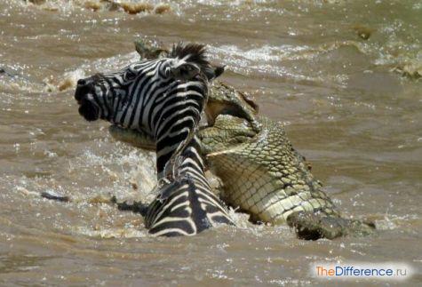 Этой зебре не суждено доплыть до берега…