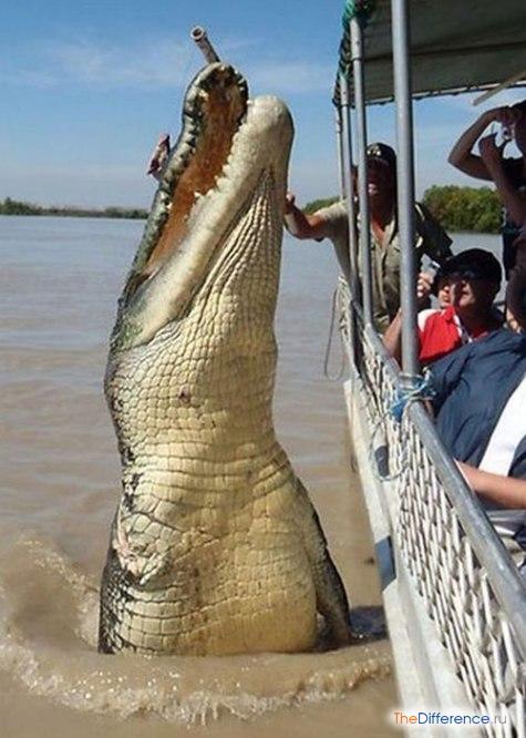 Австралия: прыжок морского крокодила – леденящее душу зрелище