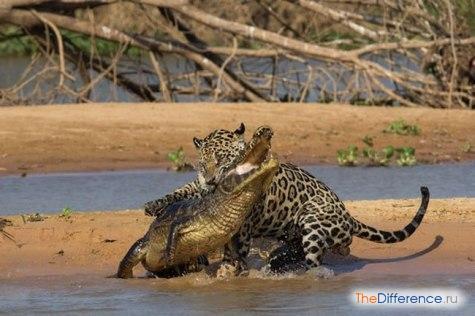 Но не все боятся крокодилов. Например, ягуар успешно на них охотится