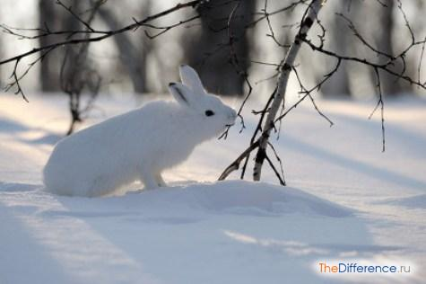 что едят зайцы зимой