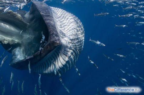 «Ковш» кита-полосатика. Виден китовый ус на верхней челюсти