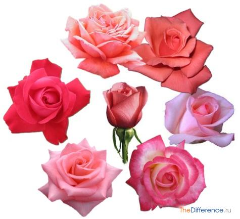 что означает розовый цвет роз