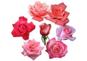 Что означают розовые розы