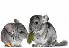 Что едят шиншиллы?
