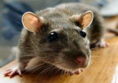 Как вывести крыс?