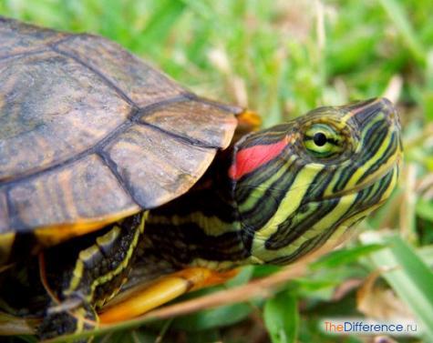 что едят красноухие черепахи