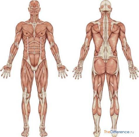 что изучает анатомия