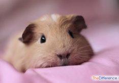 Как ухаживать за морской свинкой в домашних условиях?