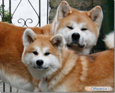 Порода собак что снималась в фильме хатико