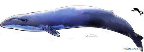 чем отличается кит от кашалота
