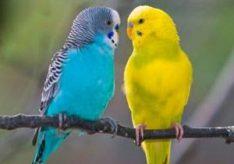 Что едят волнистые попугаи?