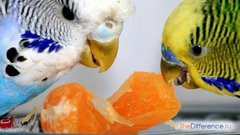 что можно есть волнистым попугаям