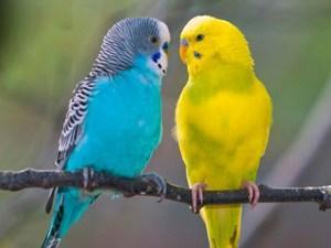 Что едят волнистые попугаи