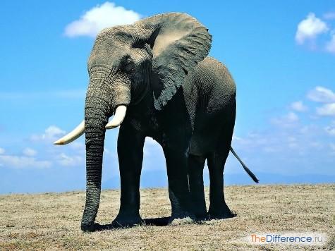 отличие мамонта от слона