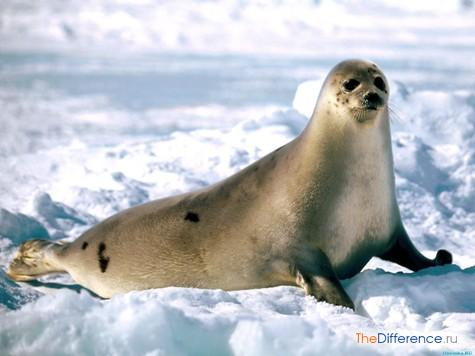 разница между моржом и тюленем