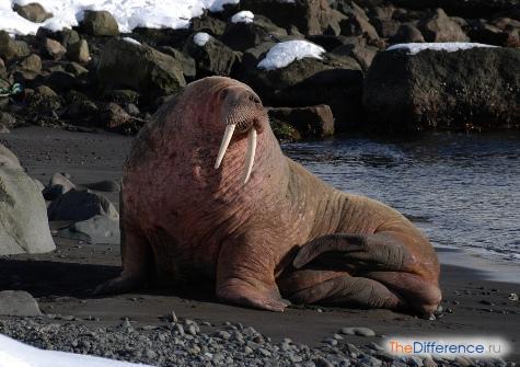 чем отличается морж от тюленя