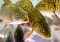 Разница между морскими рыбами и речными