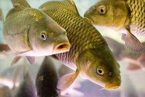 Чем отличаются морские рыбы от речных