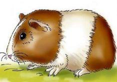 Как рисовать морскую свинку?