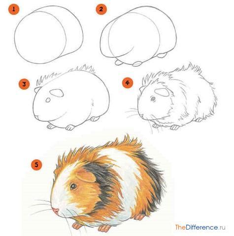 как рисовать морскую свинку поэтапно