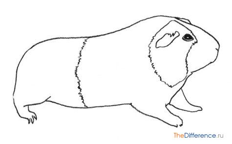 Морская свинка как ее нарисовать