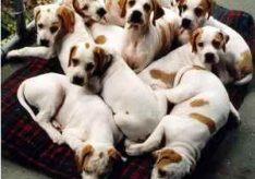 Как стать заводчиком собак?