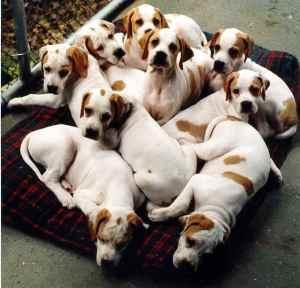 Как стать заводчиком собак