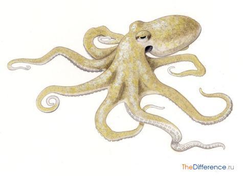отличие кальмара от осьминога