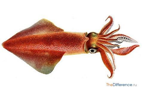 чем отличается кальмар от осьминога