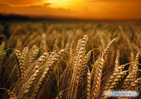 отличие ячменя от пшеницы