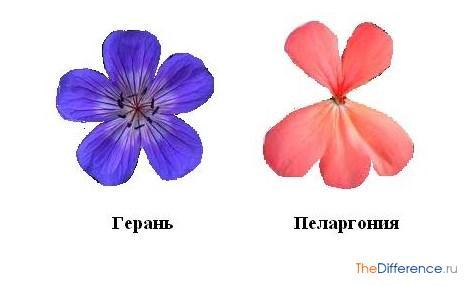 разница между геранью и пеларгонией