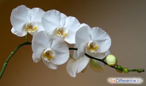 Чем отличается орхидеи от фаленопсис
