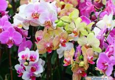 Разница между орхидеей и фаленопсисом