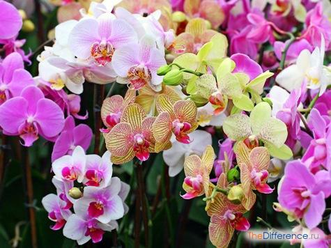 чем отличается орхидея от фаленопсиса