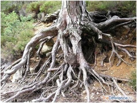 чем отличаются корни от ризоидов