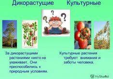 Разница между культурными и дикими растениями