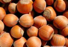 Разница между фундуком и лесным орехом